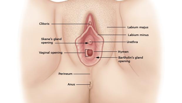 آناتومی زنان